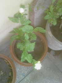 My Jasmine plant. Came with the two buds.