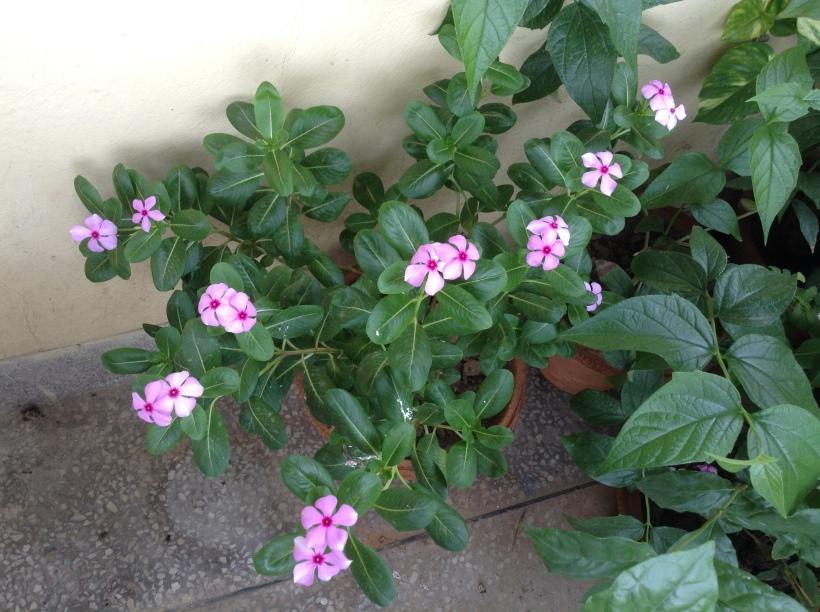My pink Sadabahar