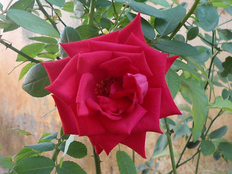 The Indian Rose - Desi Gulab Image source: https://commons.wikimedia.org/wiki/File:Rosa_indica_cultivator_at_Madhurawada_02.JPG