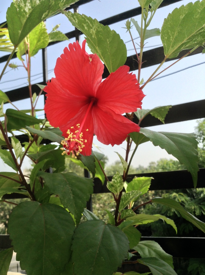 My Hibiscus Plant - notice the number of buds