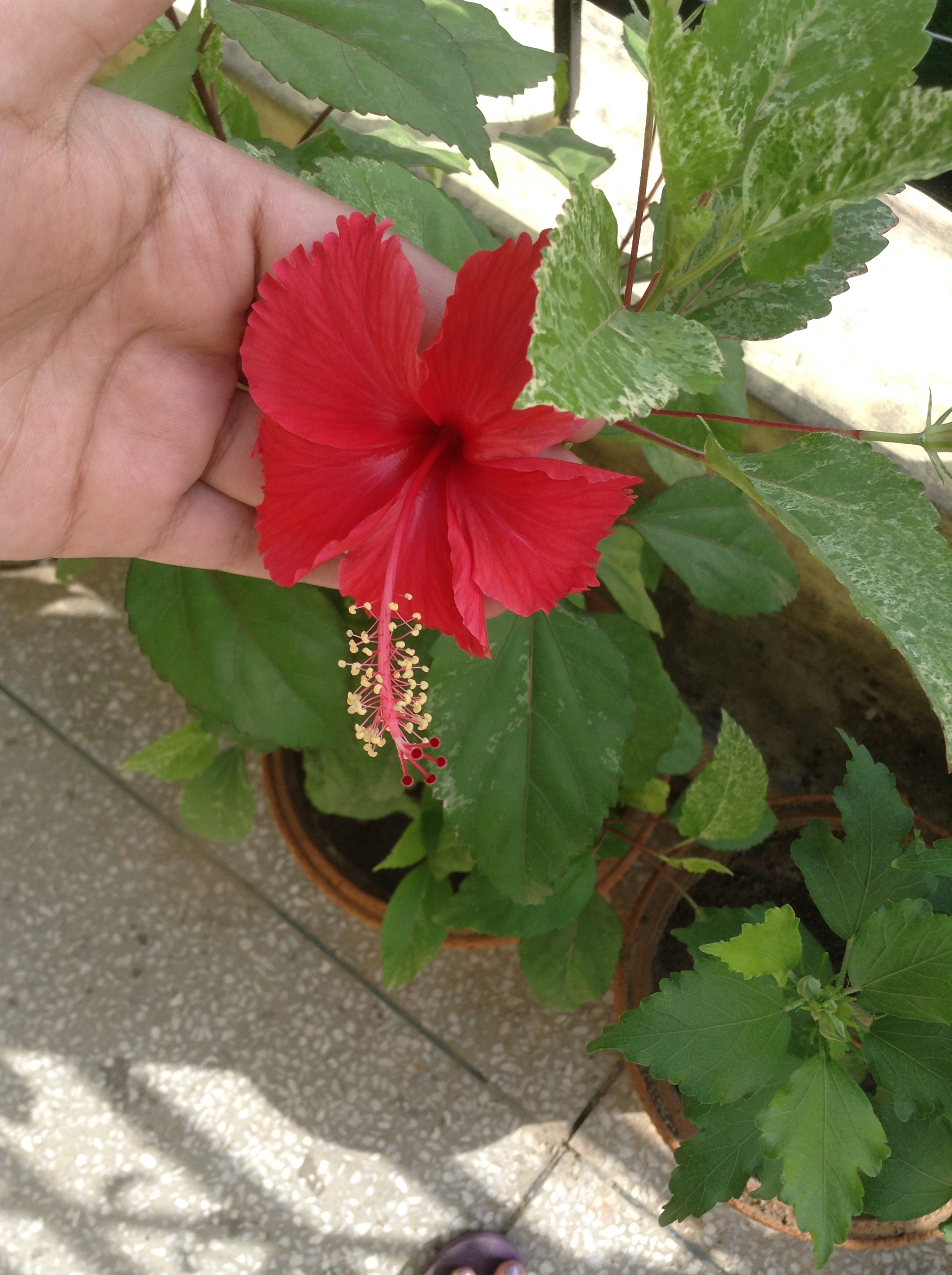 Beauty and your regular garden the vibgyor chronicles hibiscus or javakusum is known in ayurveda to be the reason behind the thick black hair in old age that indian men and women used to be famous for izmirmasajfo Image collections