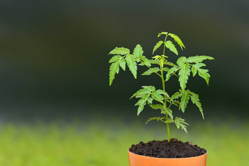 A young Neem plant Image source: http://www.pitara.com/science-for-kids/planet-earth-for-kids/the-mysterious-case-of-the-neem-tree/