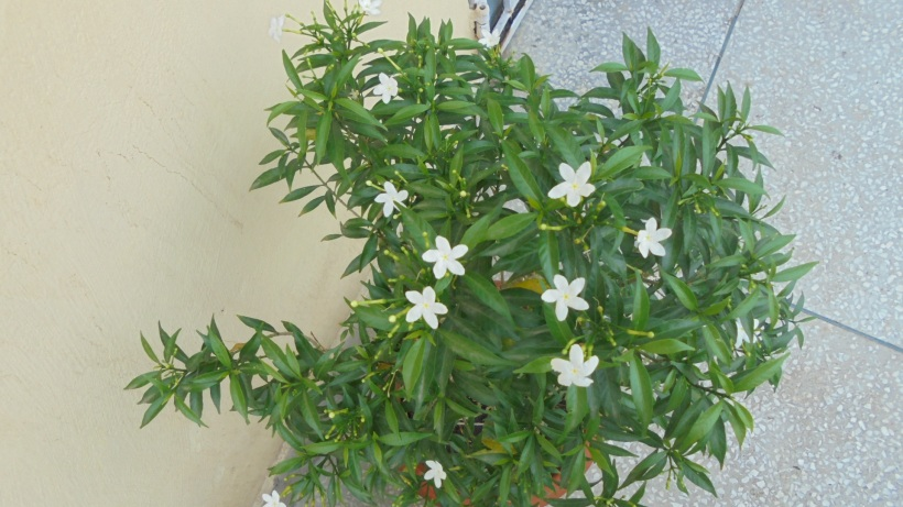 My little Chandni - or Miniature crepe jasmine as they're called in English