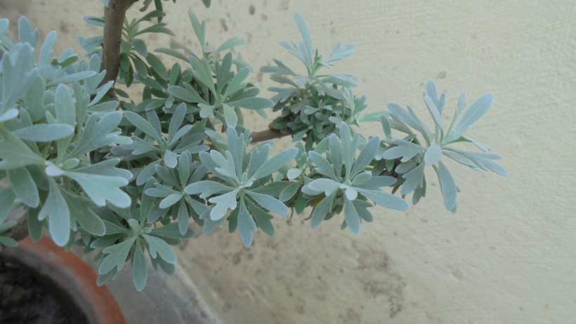 New leaves on Silver Dust