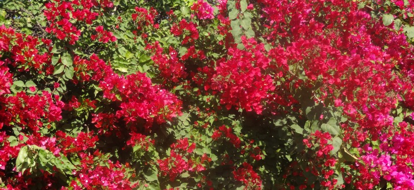 Now THAT is Bougainvillea heaven!