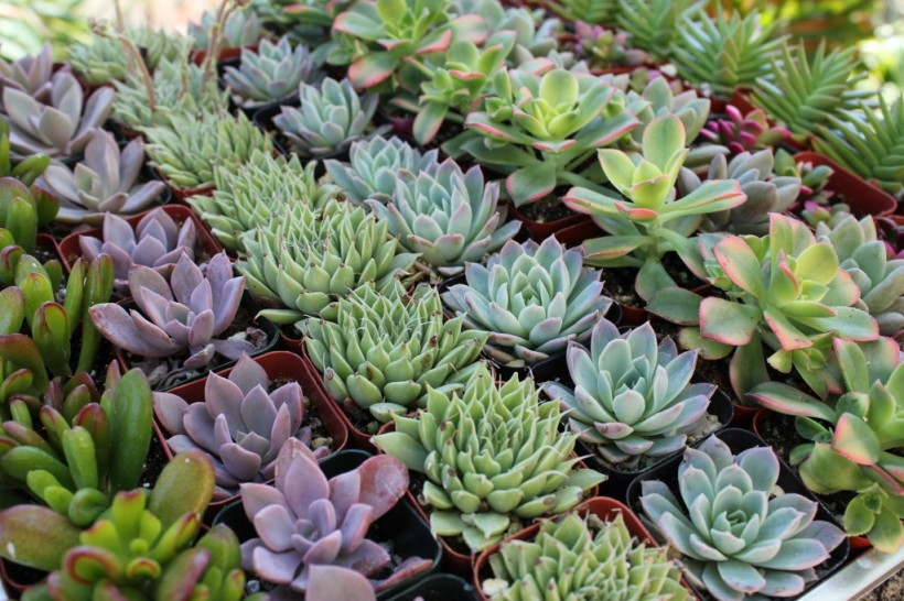 Rows of diverse and beautiful succulents. Notice the fleshy leaves. http://thesucculentsource.com/