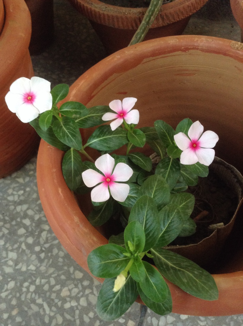 New Vinca - light pink with magenta core