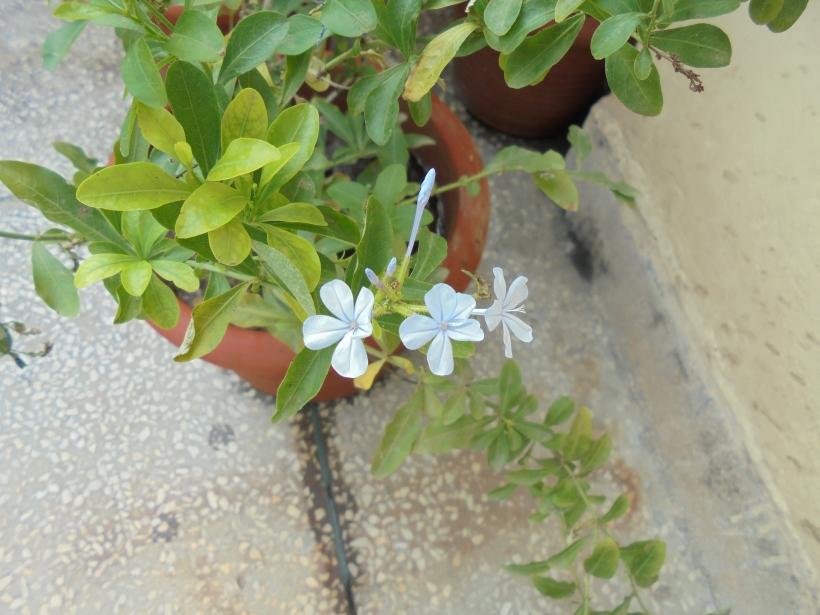 The Plumbago Plant