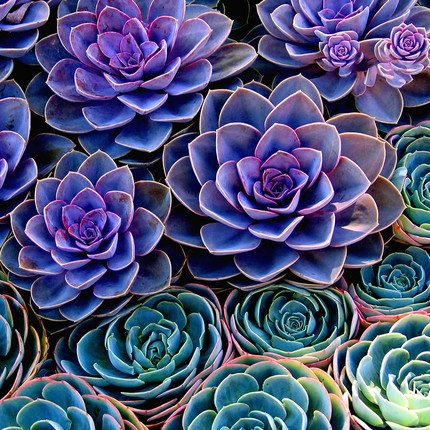Look at those gorgeous blue and blue green leaves https://www.tumblr.com/search/purple%20succulents%20plants