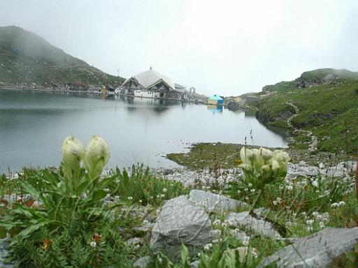 Brahma Kamal growing in the Himalayas