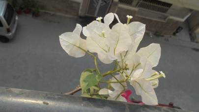 My white Bougainvillea