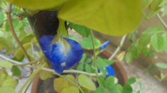 A lovely royal blue flower on my Aparajita plant