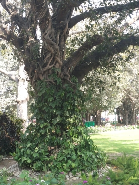 A vine climbing around a tree