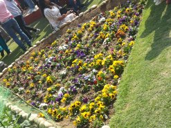 A bed of Pansies