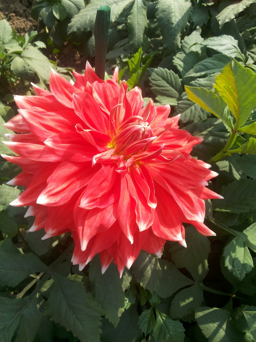 A bright red Dahlia flower with flecks of white at Mughal Gardens, President's Estate, New Delhi, India