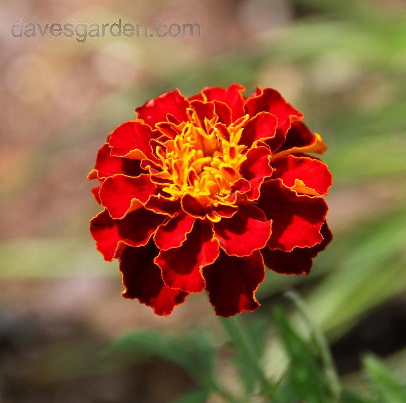 Image source: www.davesgarden.com