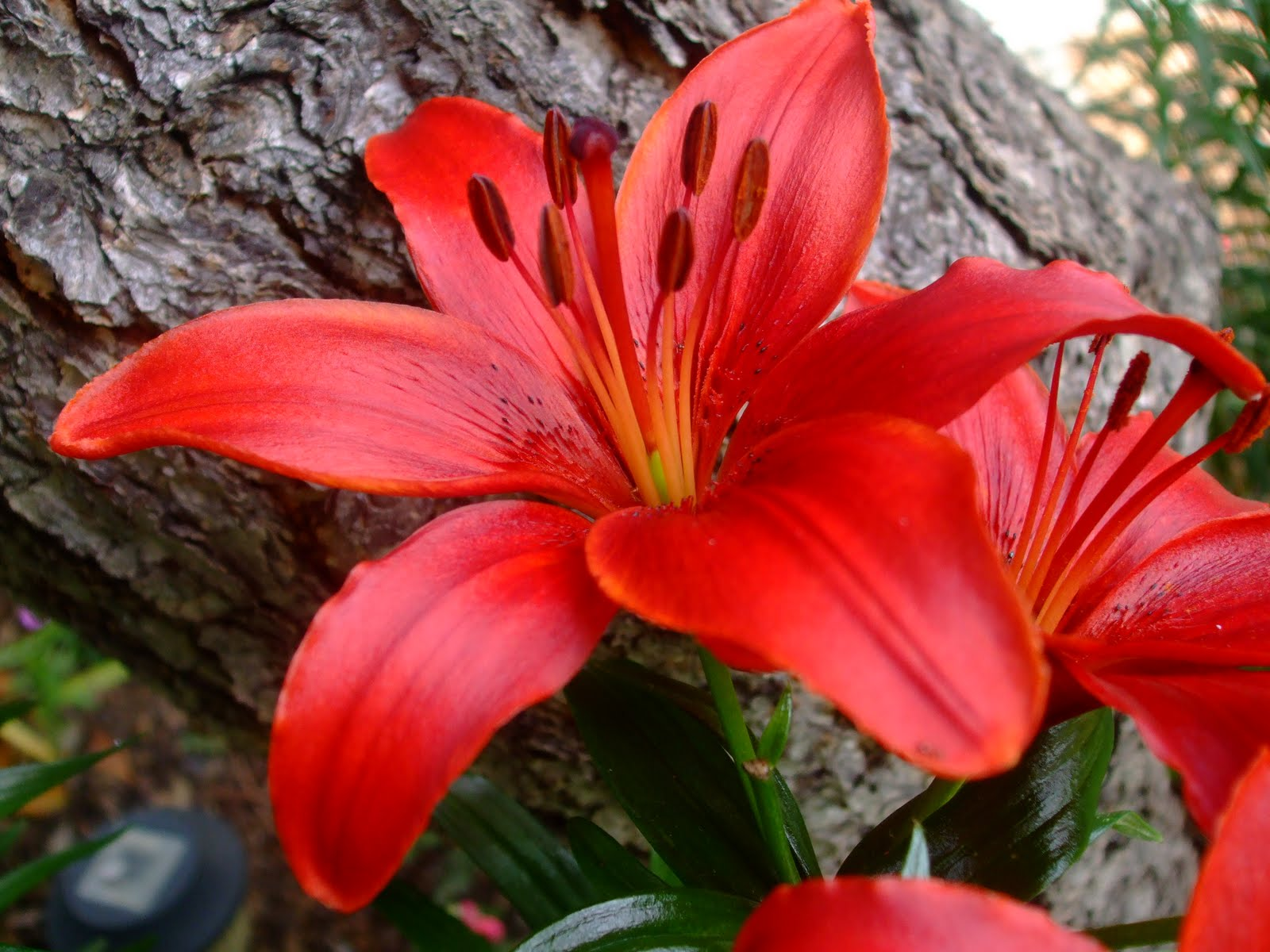 Red lily flowers 1 the vibgyor chronicles red lily flowers 1 izmirmasajfo