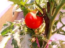 15. Ripe red tomato