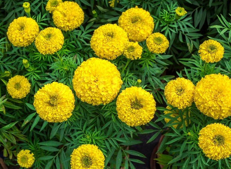 7846613-yellow-marigold-flowers