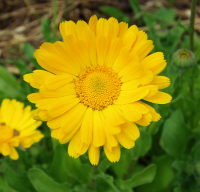 Calendula_yellow_officinali