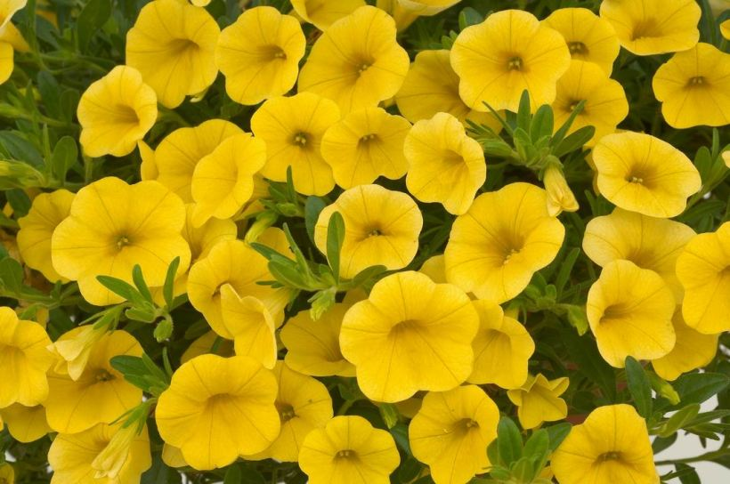 calibrachoa-noa-yellow