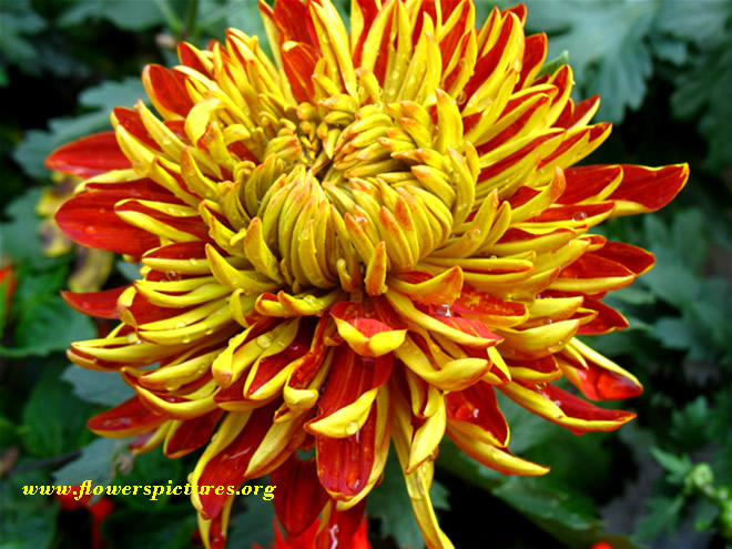 chrysanthemum_25