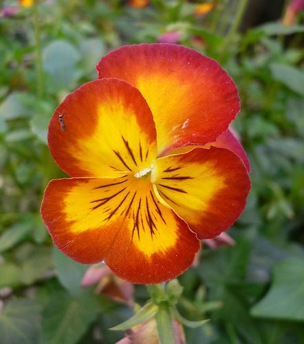 pansy-flower-10