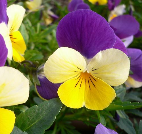 pansy-flower-3