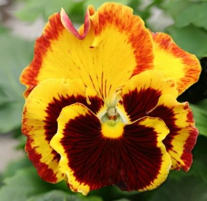 pansy_flower_garden_pansy_223492