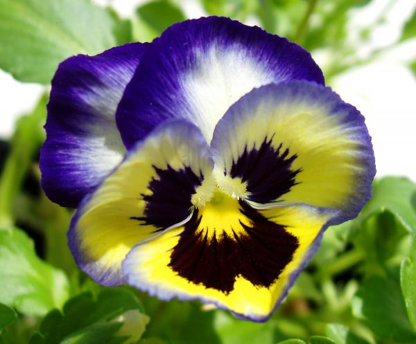 purple-white-and-yellow-pansy-nancy-mueller