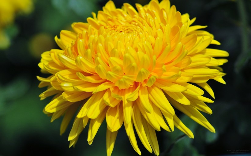 yellow-chrysanthemum-1
