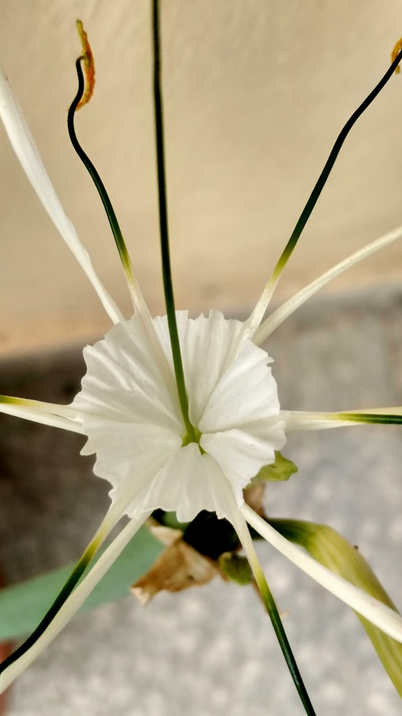 Captivating beauty and fragrance of the White Spider Lily flower