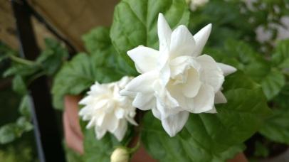 Bela flowers