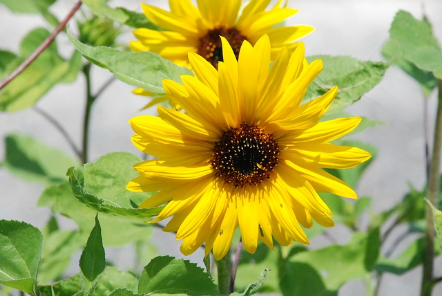sunflower-flower-yellow-wild-flower-flowers-nature