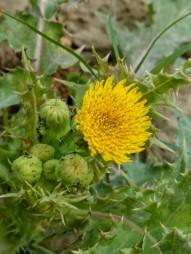 Looks like a miniature sunflower