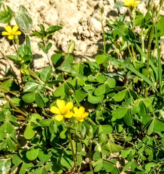Rounded lush green leaves and perfect five petalled bright yellow flowers, one cm in diameter