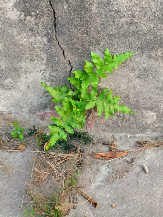 A wild fern growing in the crack on a cement sitting bench in the garden