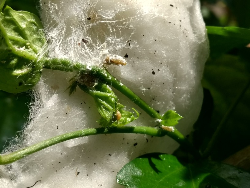 Rubbing and removing using a cotton bud soaked in water and alcohol. Notice the beige coloured caterpillar